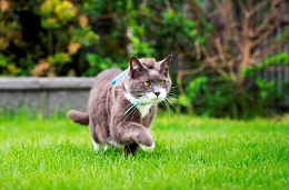 cat with cat tracker walking in grass