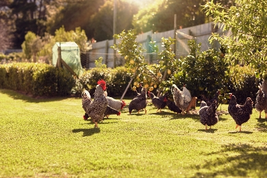 Backyard vegetable patch with chickens
