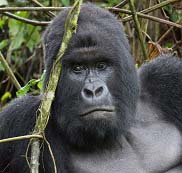 Gorilla in the wild