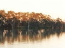 River Murray trees