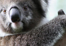 Great Koala Count