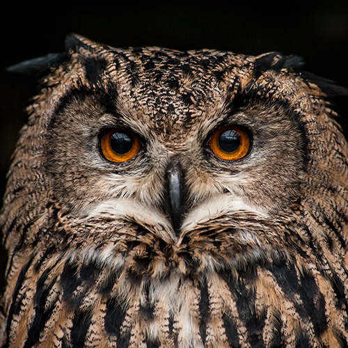Orange-eyed brown owl