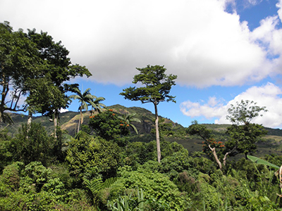 Emergent ma trees towering over secondary forest in the scenic Mount Koroyanitu Heritage Park. Photo: Gunnar Keppel.