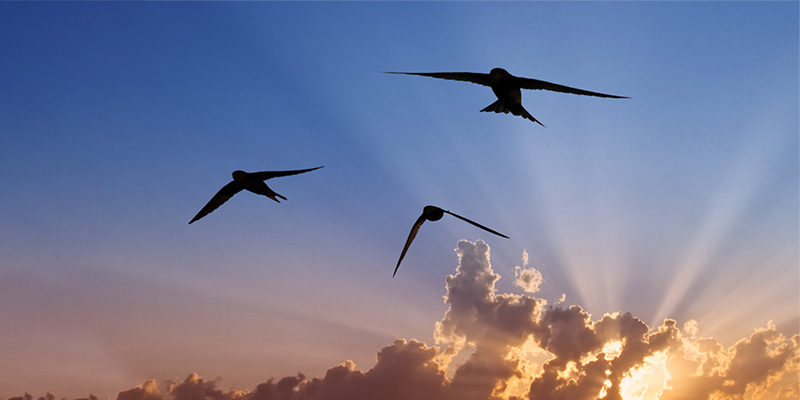 Swifts are the inspiration for the flapping wing drone.