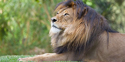 Lion. Photo courtesy Adelaide Zoo.